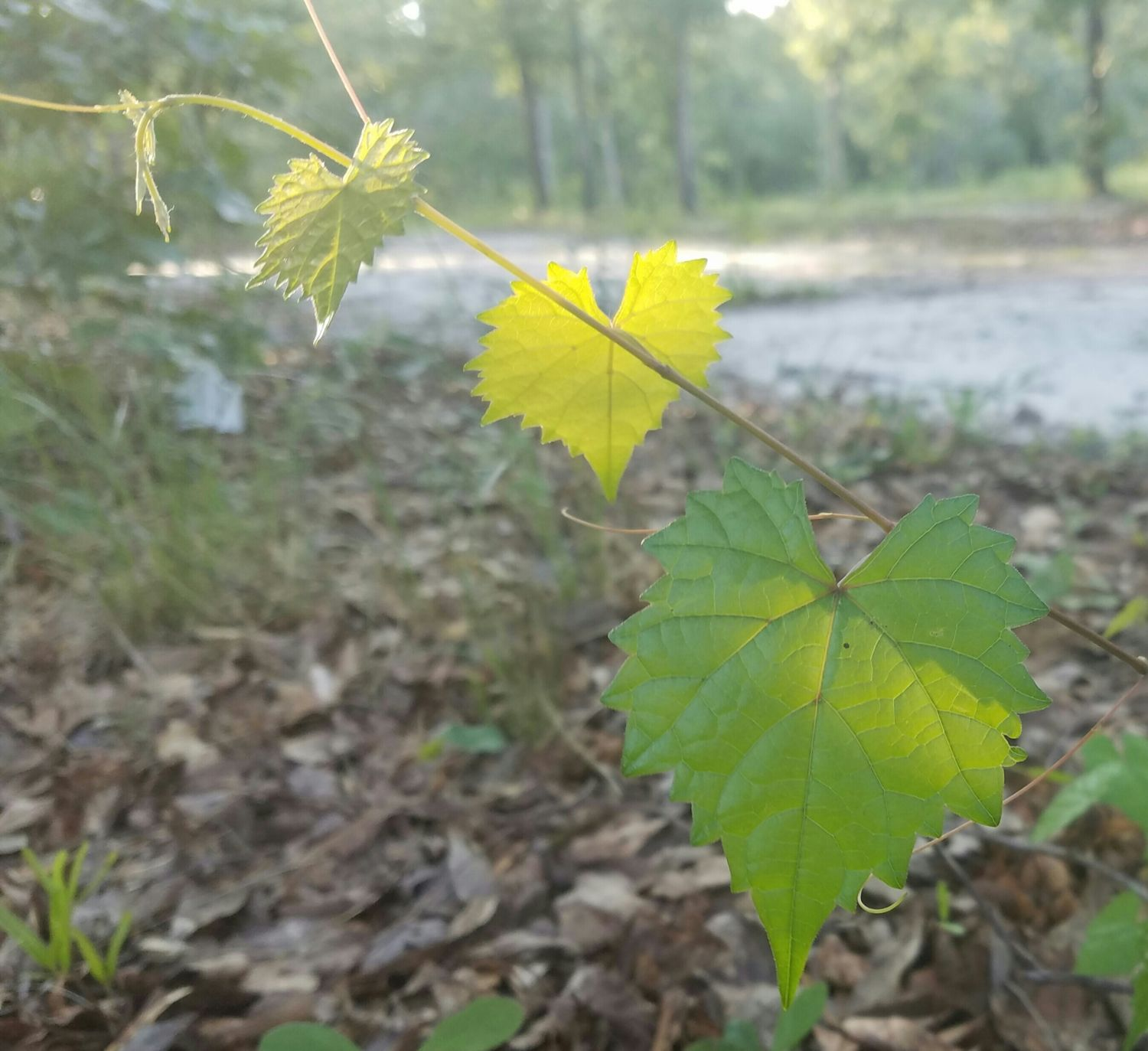 The sun shining on these three heart shaped leaves only lasted a minute. Took this pic at almost the exact hour of the summer solstice. :)