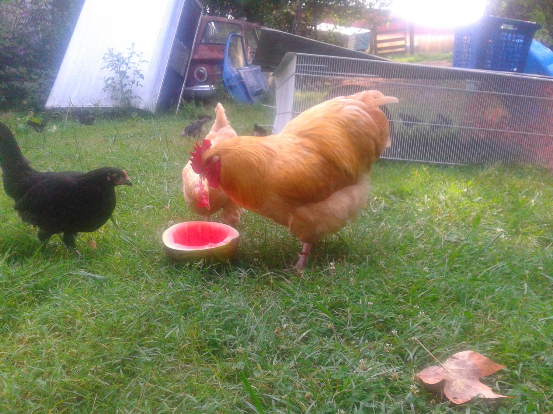 Donna R Raybon's photos in Do your hens like watermelon?