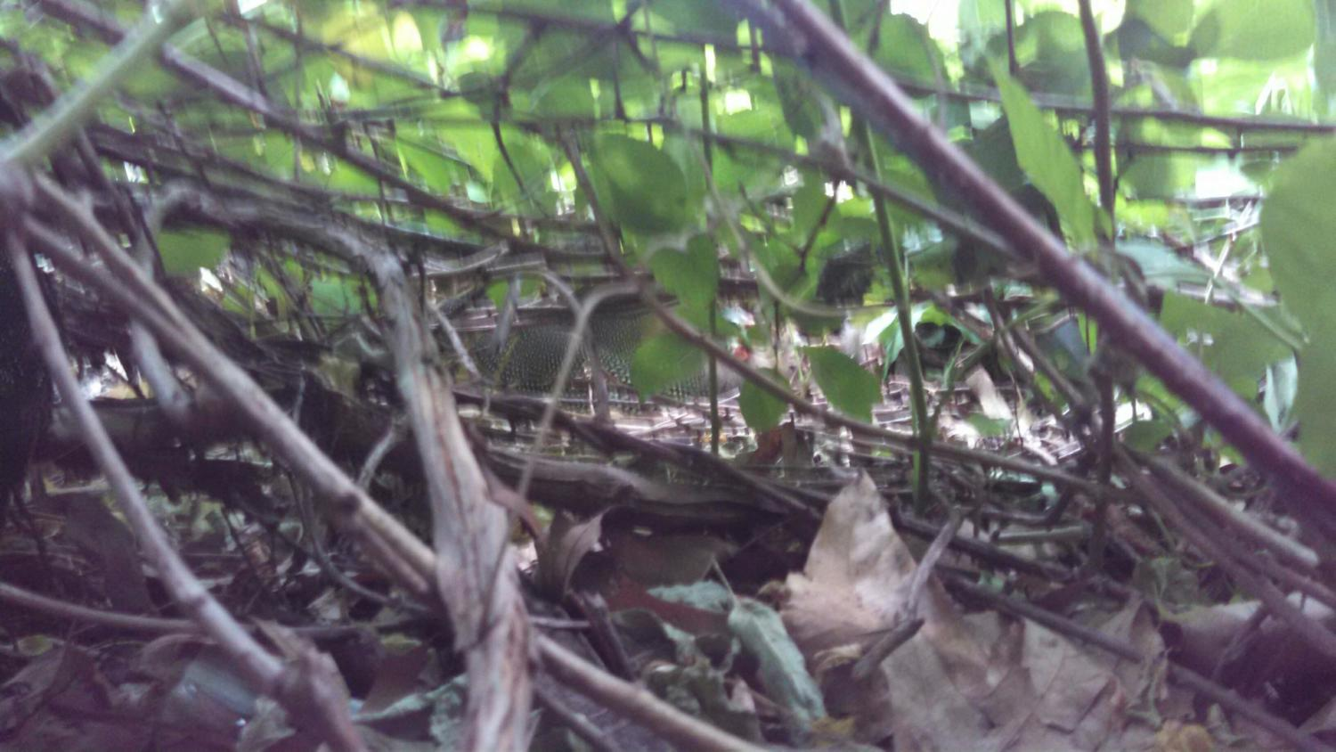 Finally he sent me a photo from within the brush... you can sort of see her in the very center.