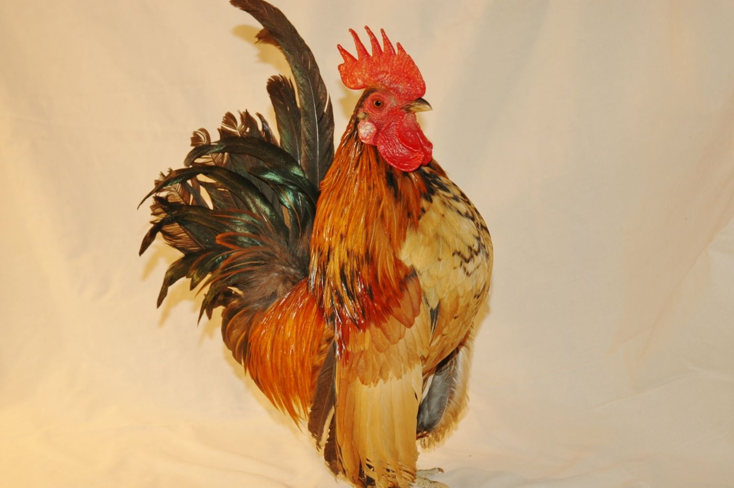 cockerel for sale