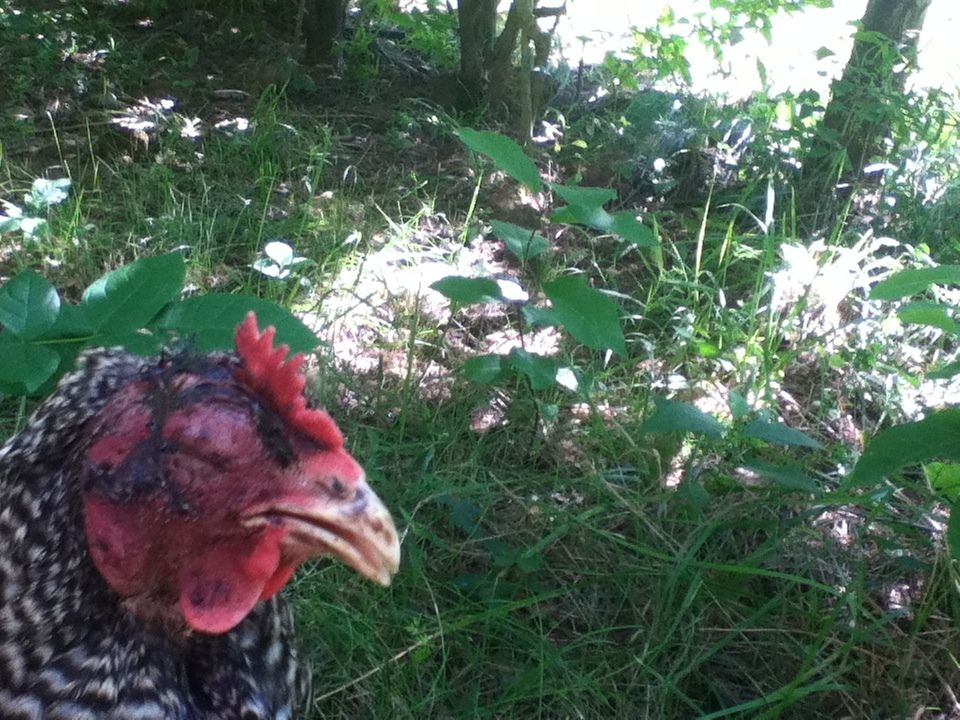 *Urgent* Hen Attacked by Raccoon