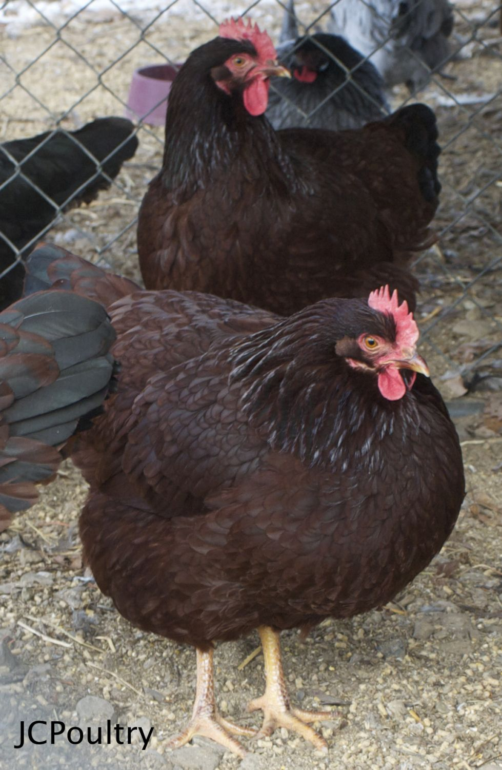 Remarkable, rather Mature rhode island red hen are