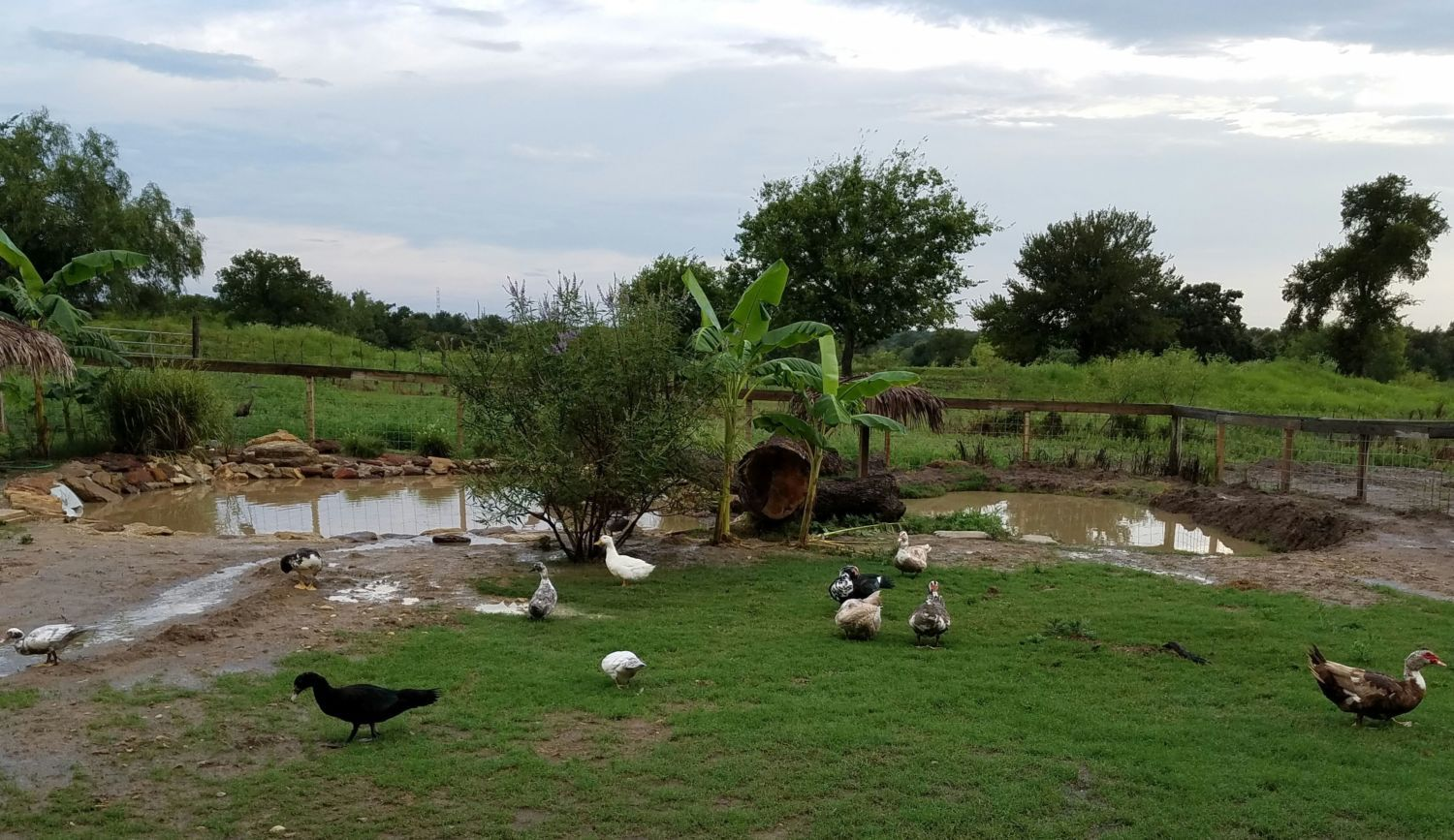 Keeping Duck Pond Water Clean With Minimal To No Effort