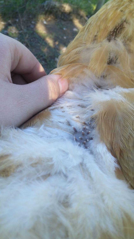 Leghorn Chickens Molting or Mites??