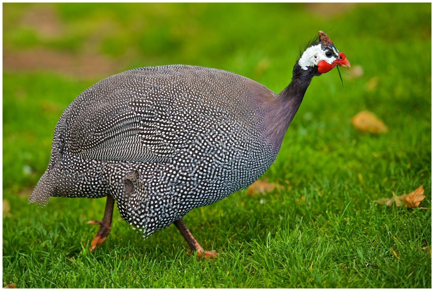 The Helmeted Guinea Fowl Of Africa Vs Of U S