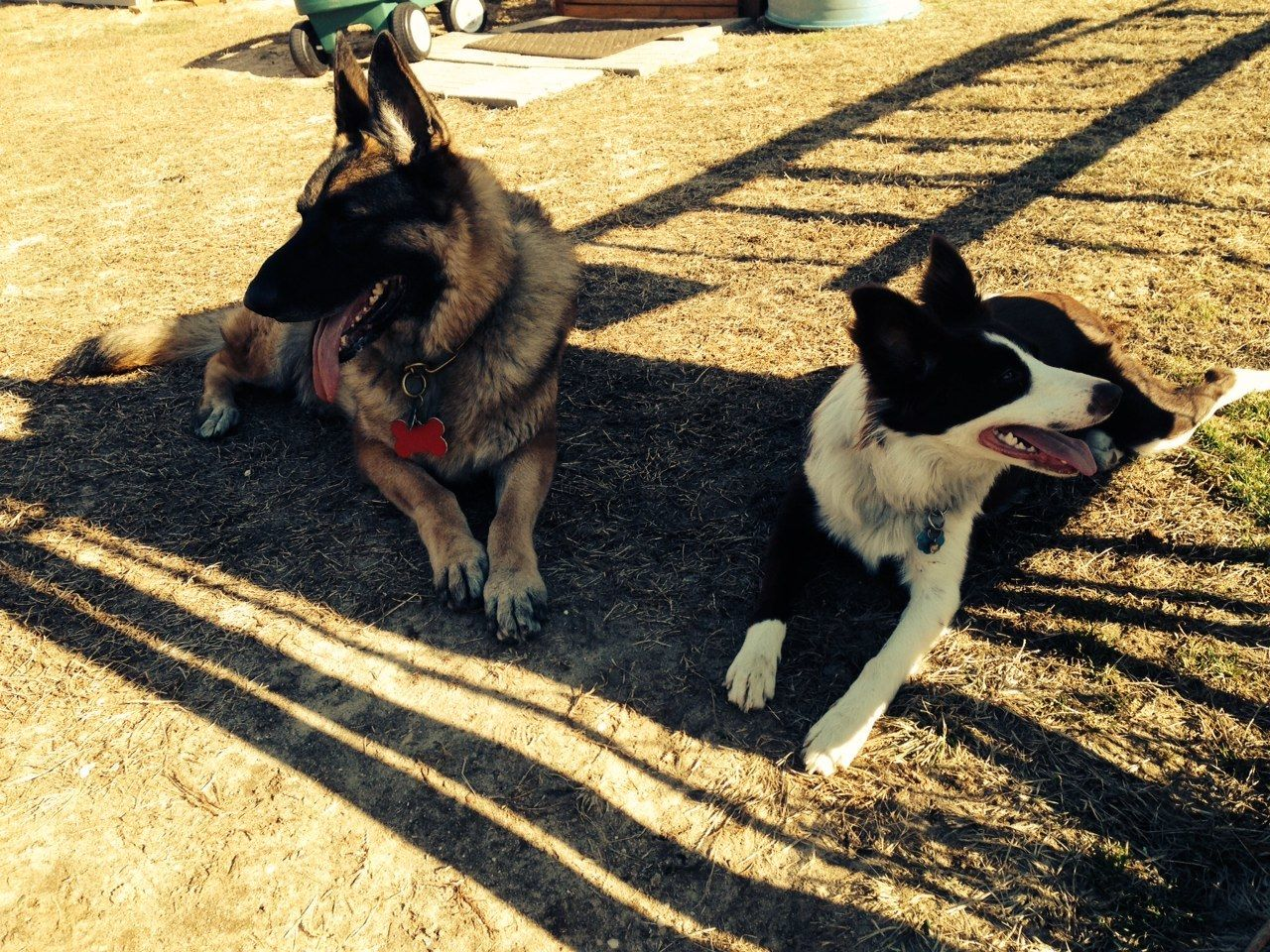 "Our Champion German Shepherd ""Kirby"" and our Border Collie ""Bubby"""