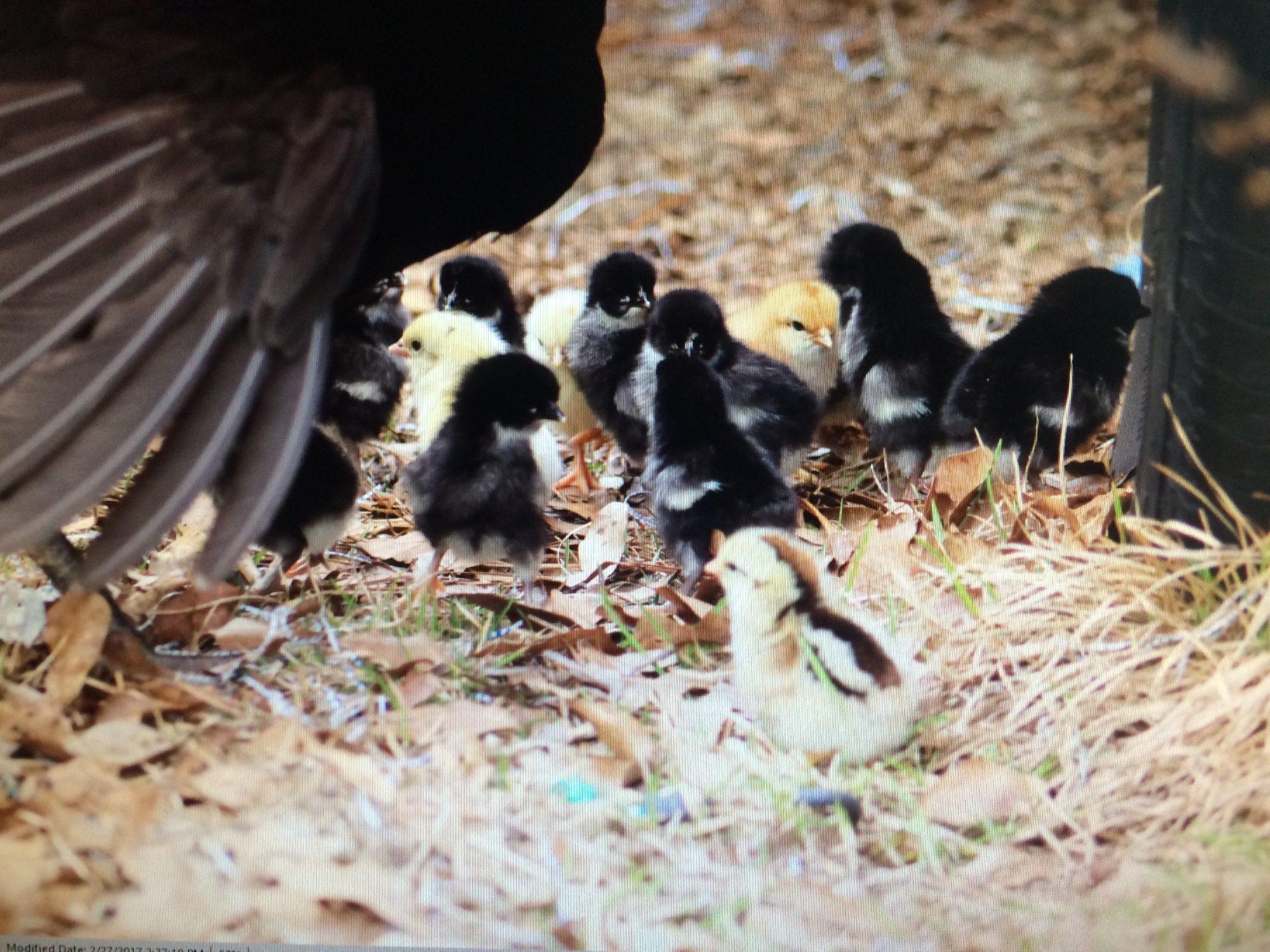 Surprise chicks!