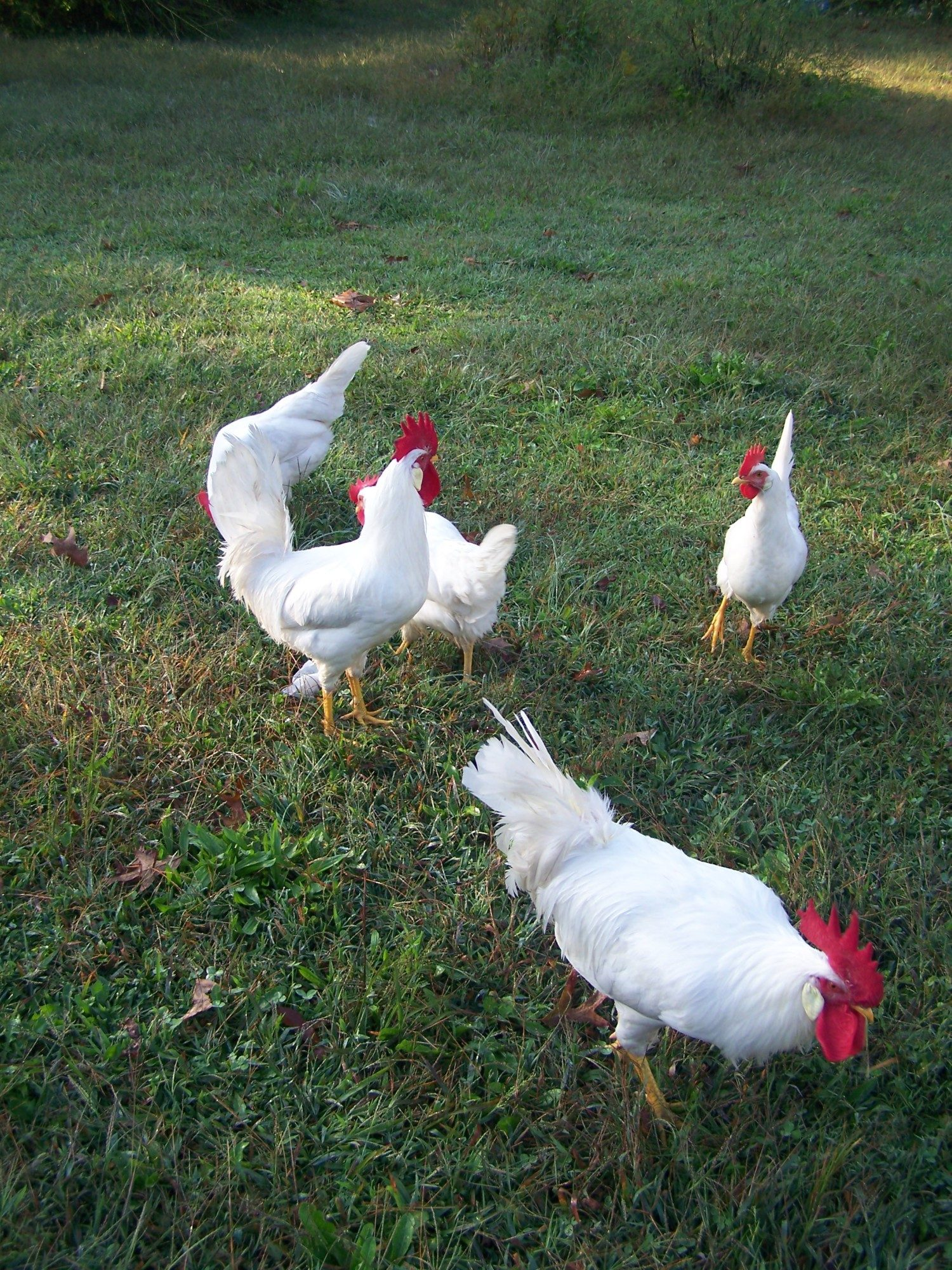 Pearl White Leghorns Mcmurray Hatchery Stock | BackYard ...