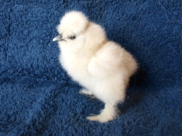 My Newest SILKIE Babies pics | BackYard Chickens - Learn ...
