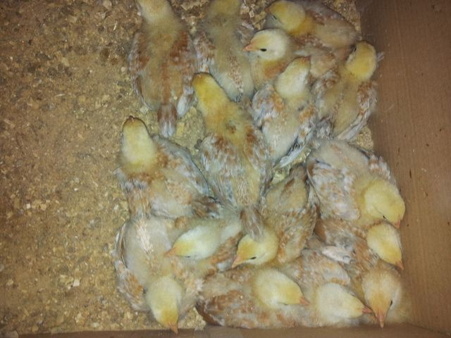 http://www.backyardchickens.com/image/id/6073351