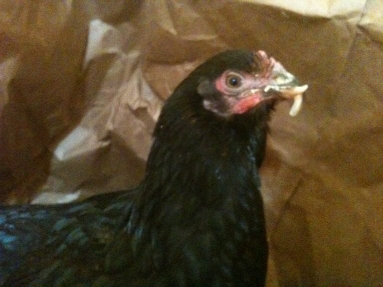6f499f8cdf Bird began her life at a hatchery and it was sheer luck that I found her at  our feed store. She had made it past the cull squad with a severe crossbeak  ...