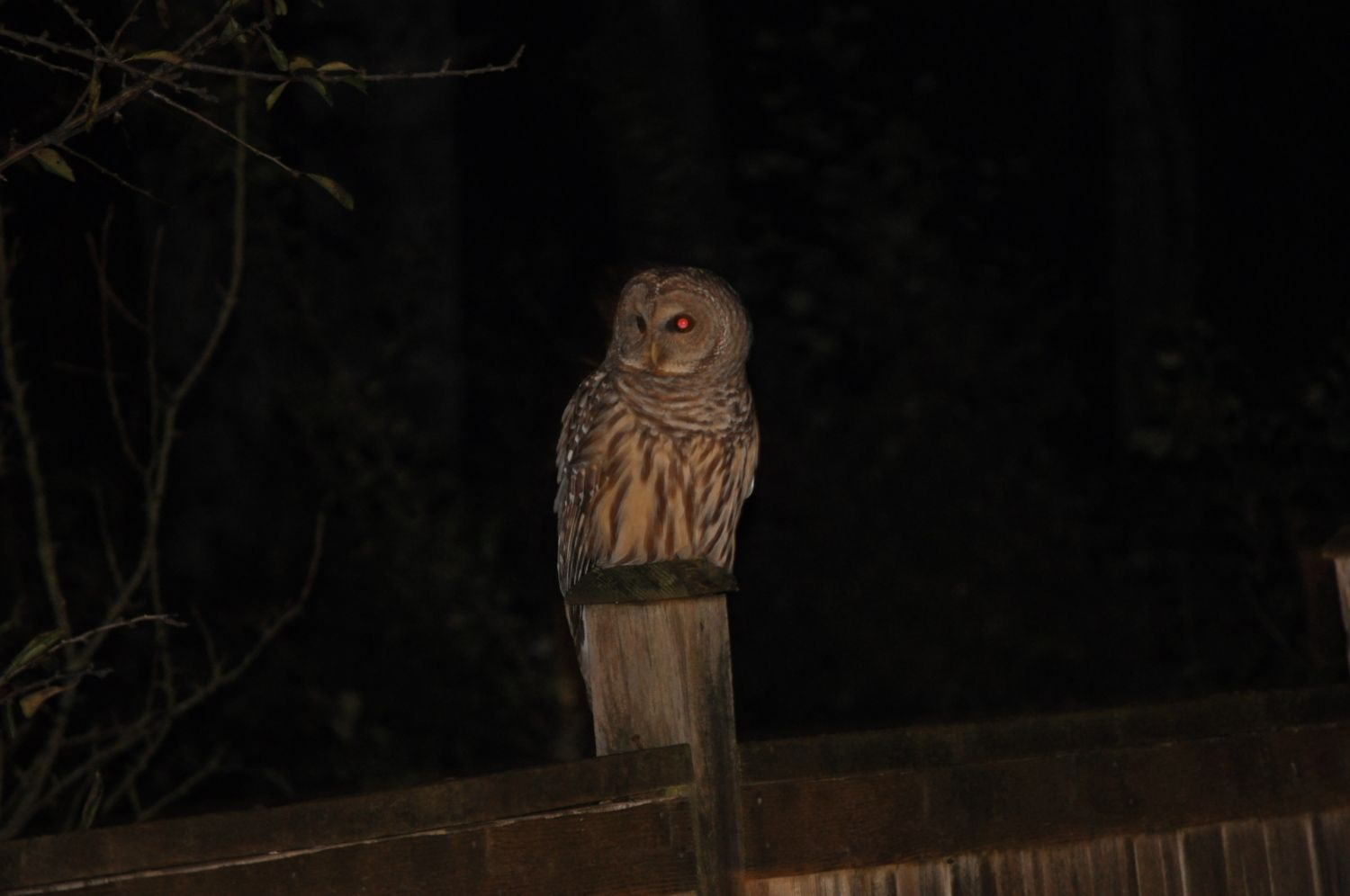 owls a gift in the night backyard chickens