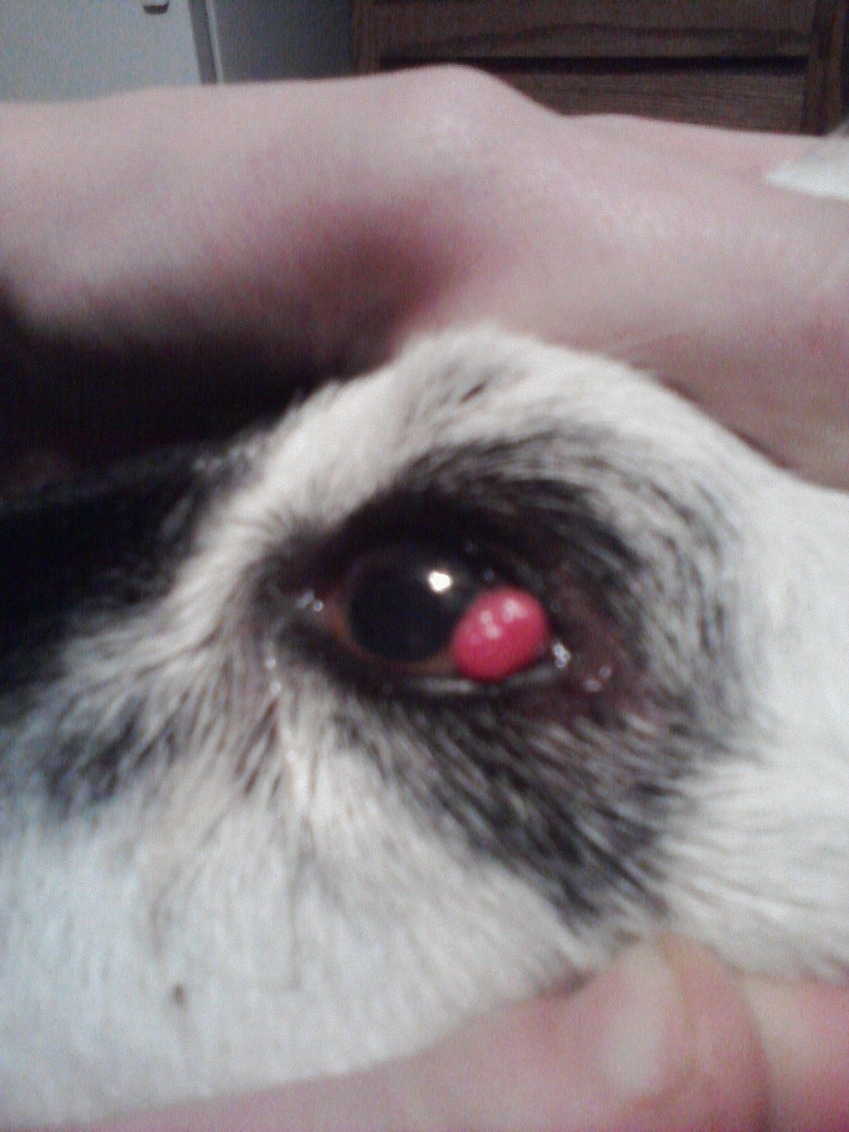 How Much To Fix Cherry Eye In Dogs