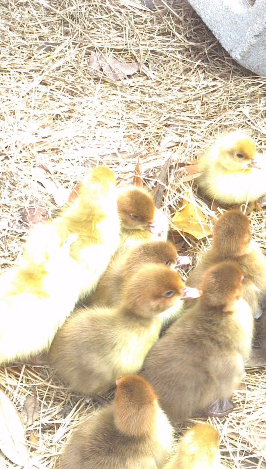 ducklings central florida backyard chickens