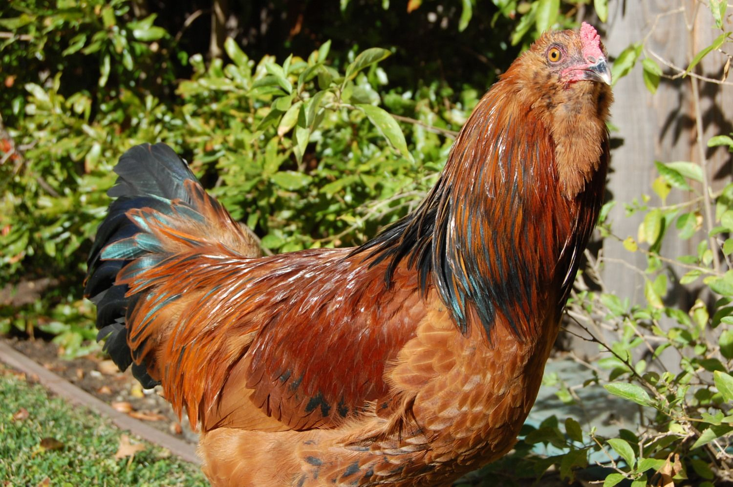 Ameraucana cockerel
