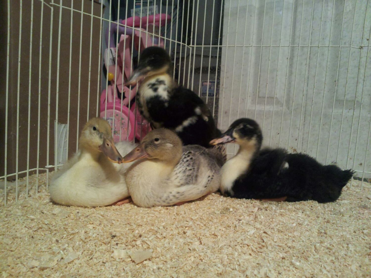 post pics of your duck nests and post pics of your ducklings that