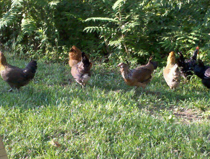 Deciding To Free Range Your Flock | BackYard Chickens