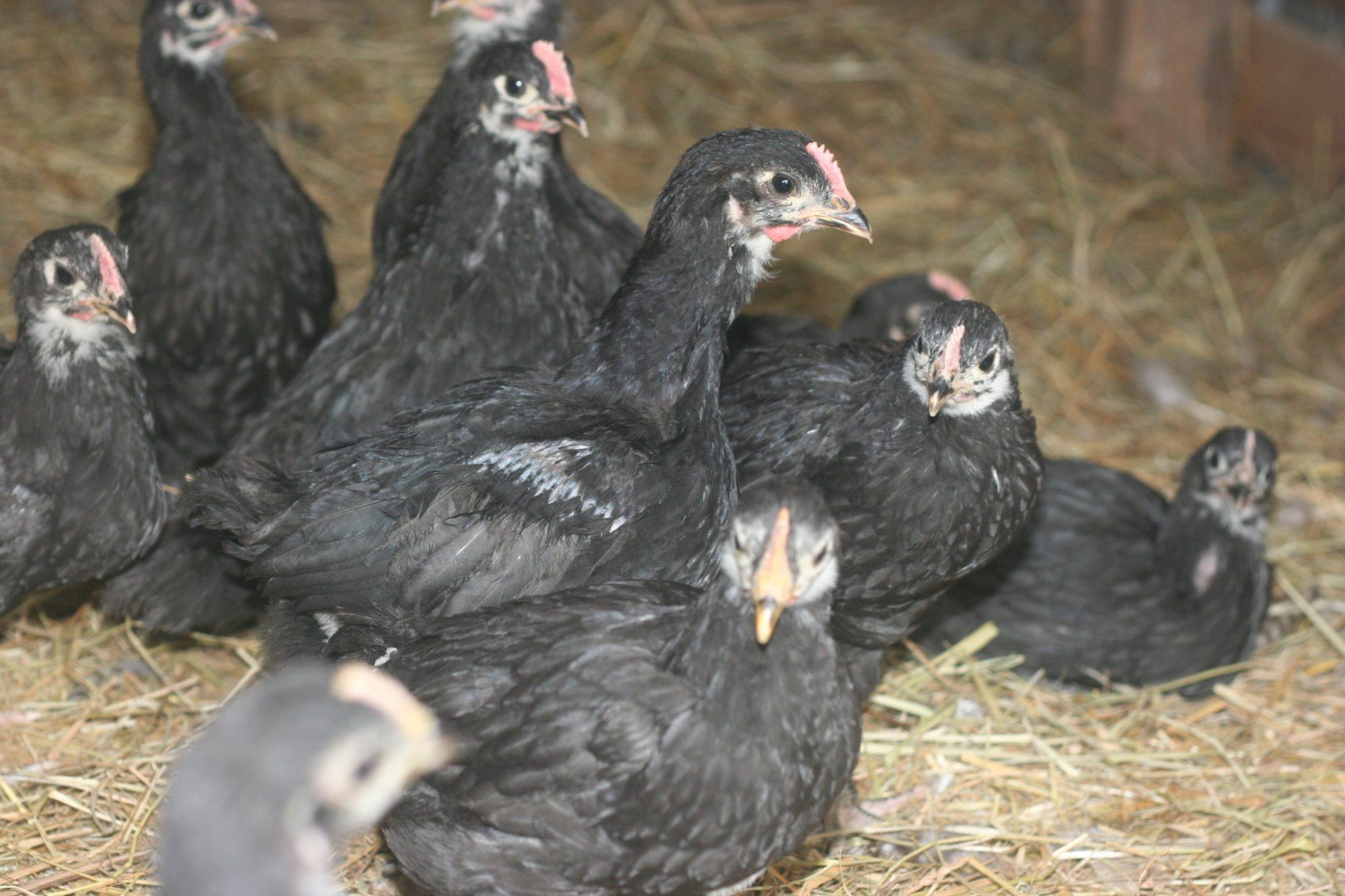 young australorp roosters or hens backyard chickens