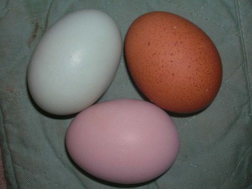 My Light Brahma lays a very pink egg | BackYard Chickens - Learn How to  Raise Chickens