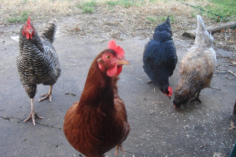 TULSA area Cluckers | BackYard Chickens