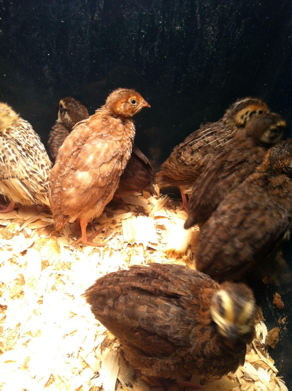 eBay - Quail (Any good sellers?) | BackYard Chickens