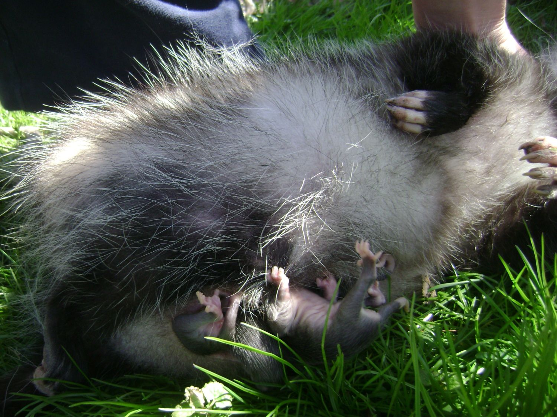 momma possum backyard chickens