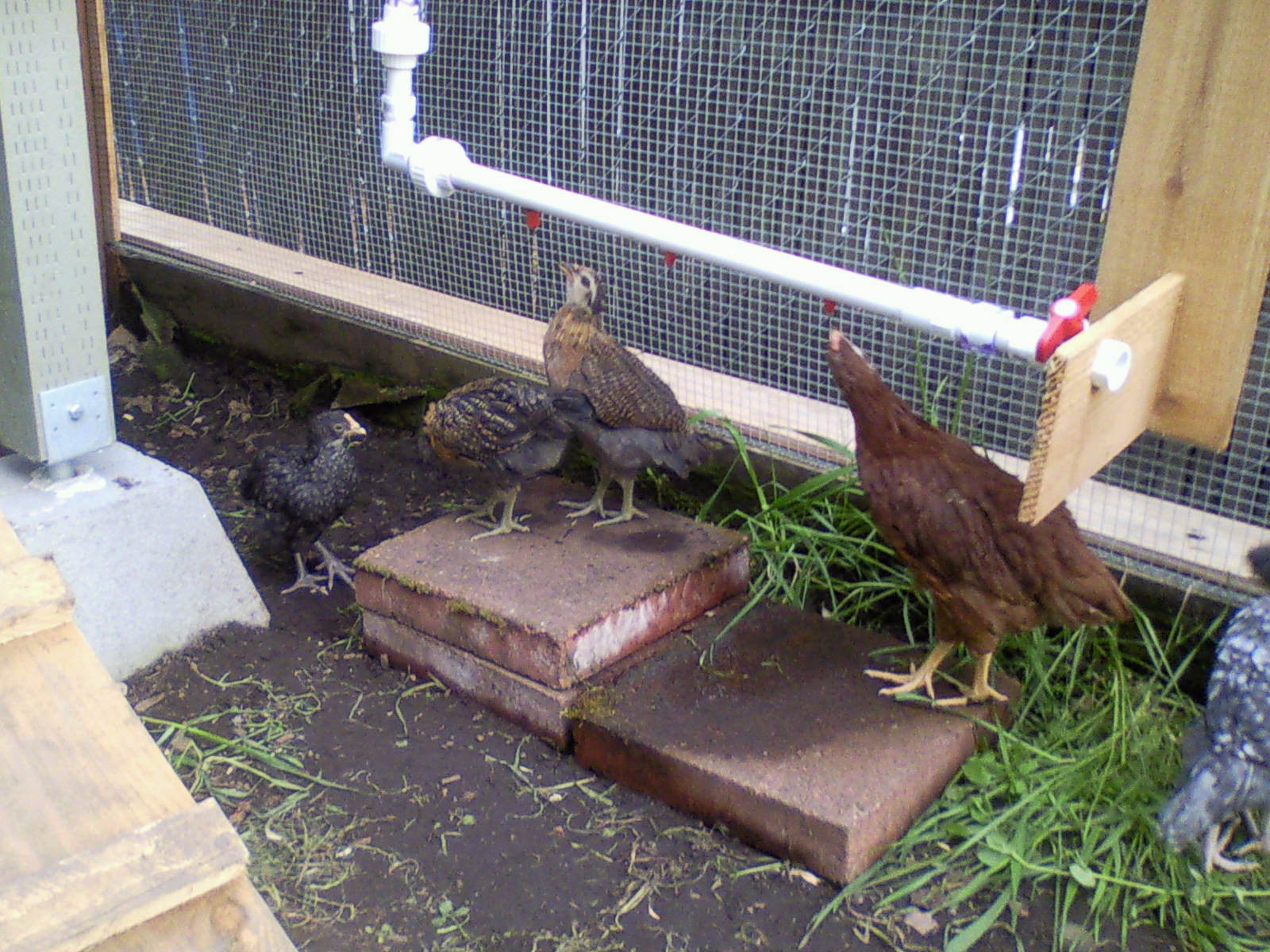 chickens not using poultry backyard chickens