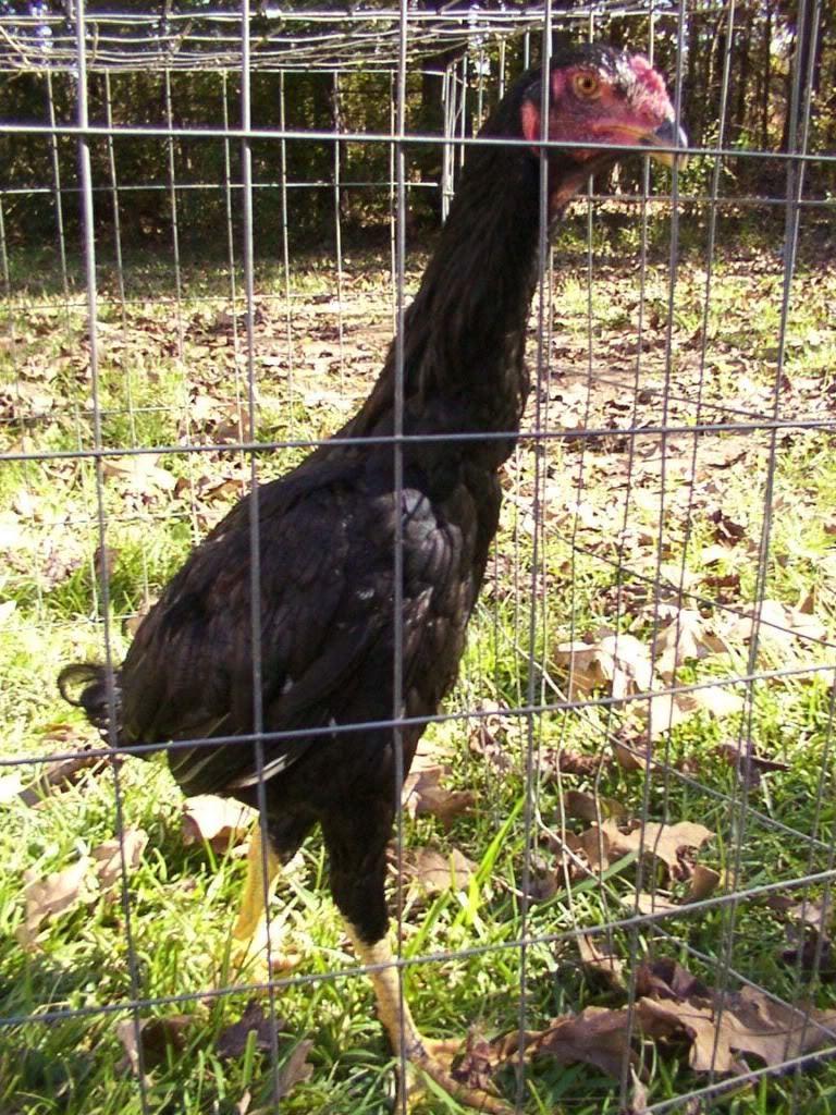 O Shamo | BackYard Chickens