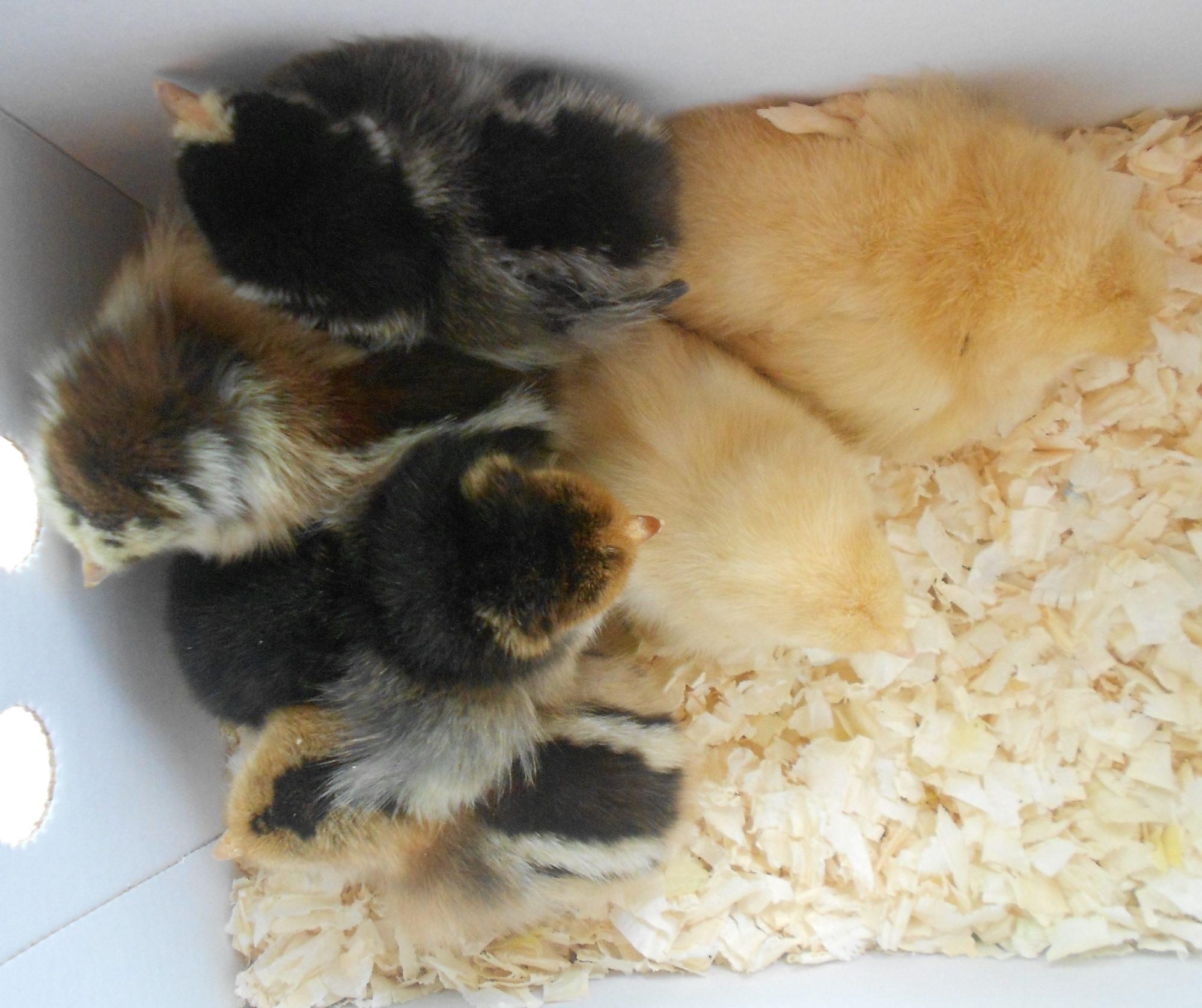 BackYard Chickens - Learn How