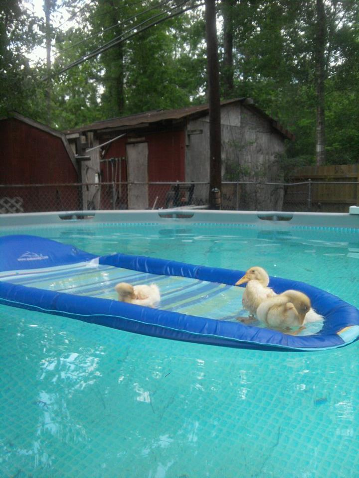 ducksinpool2.jpg