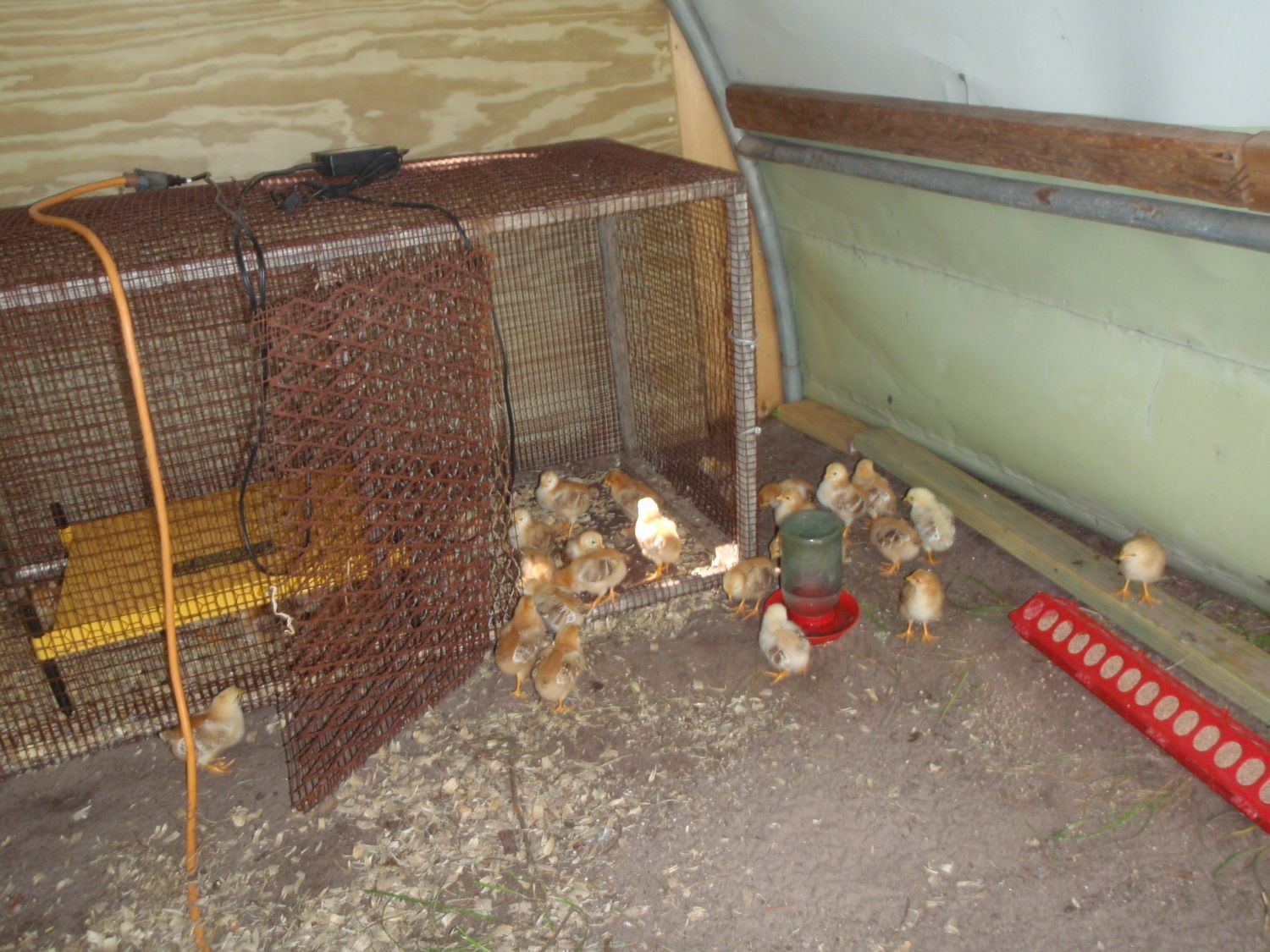 how to get chickens back in their coop
