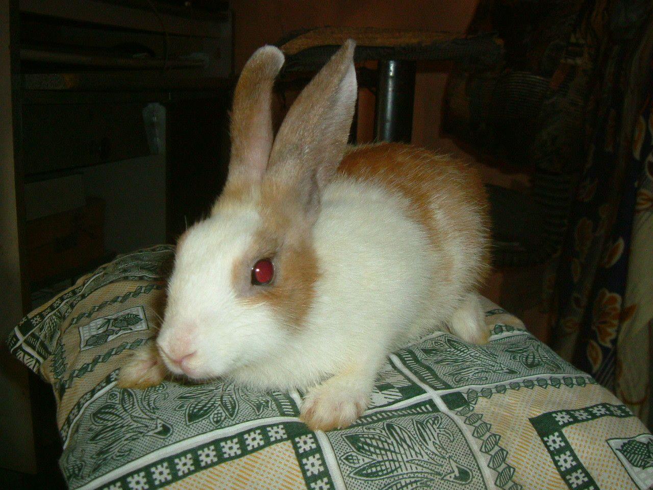 vienna marked rabbit breeding info plz help backyard chickens
