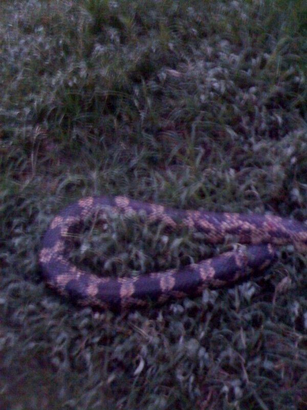 Texas Rat Snake A K A Chicken Snake Backyard Chickens