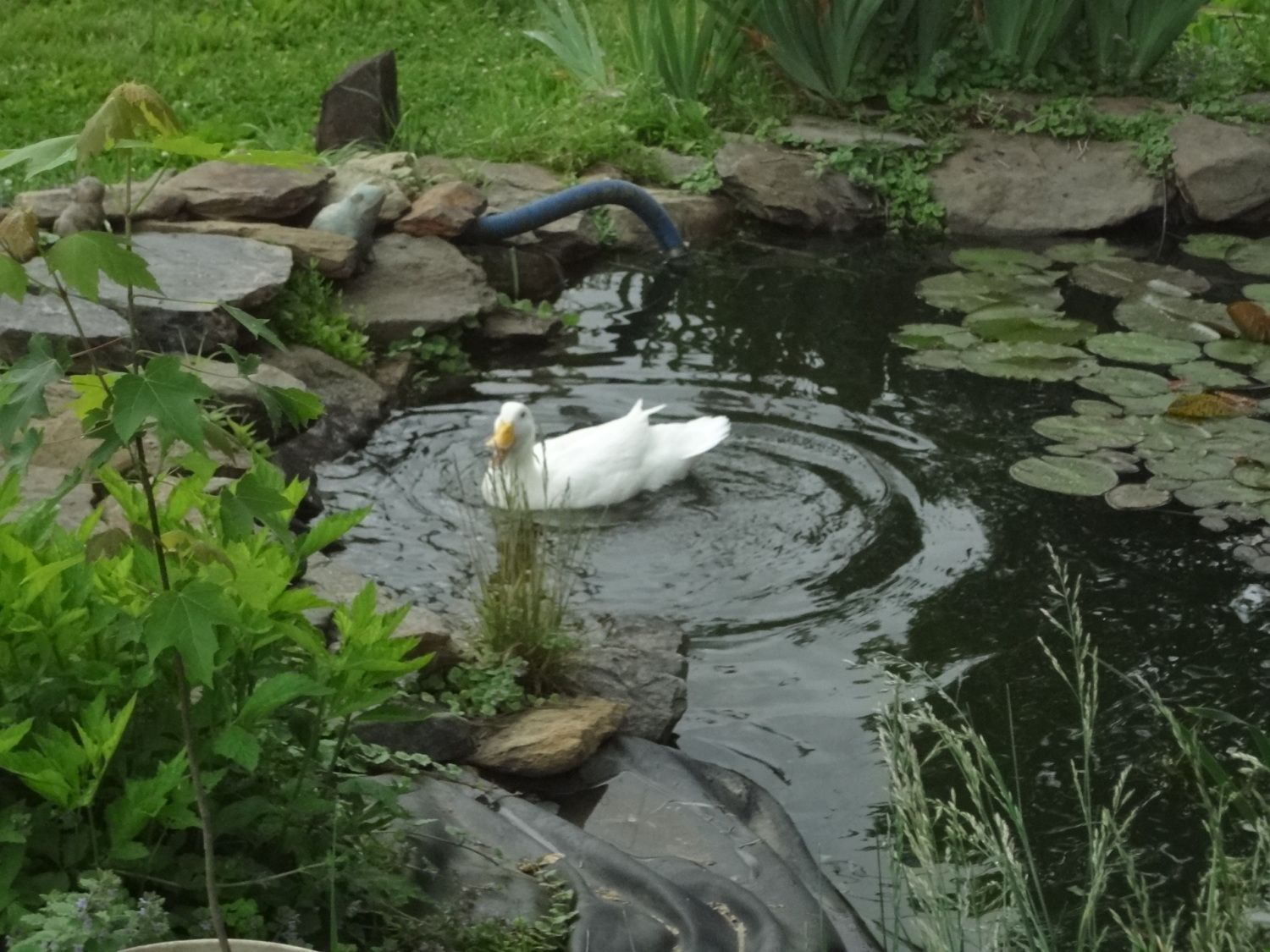 Making A Backyard Duck Pond : Duck HousePond Page Contest SpringSummer 2012  $20 BYC Store Gift