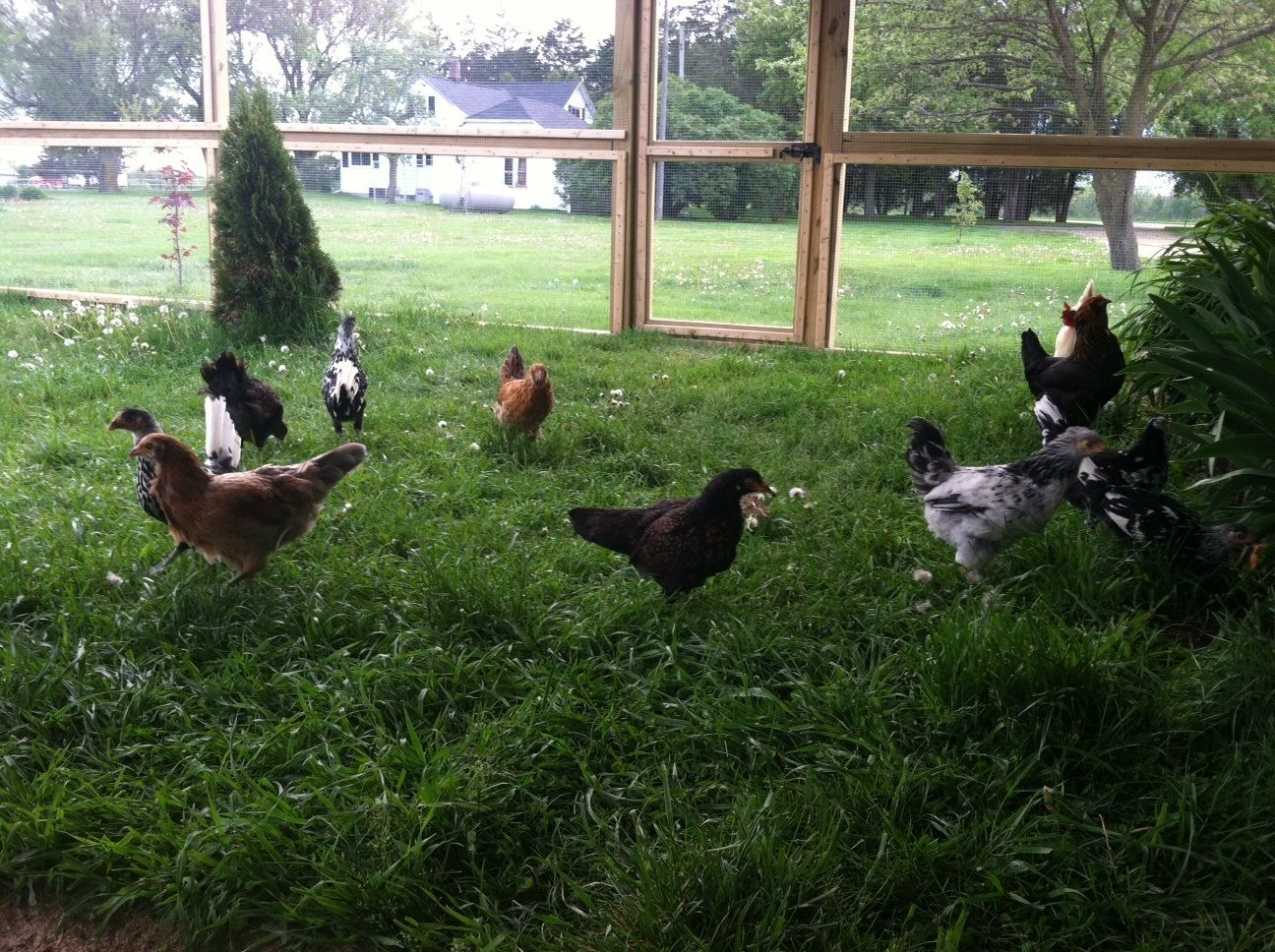 my babies are 3 months old lots of photos backyard chickens