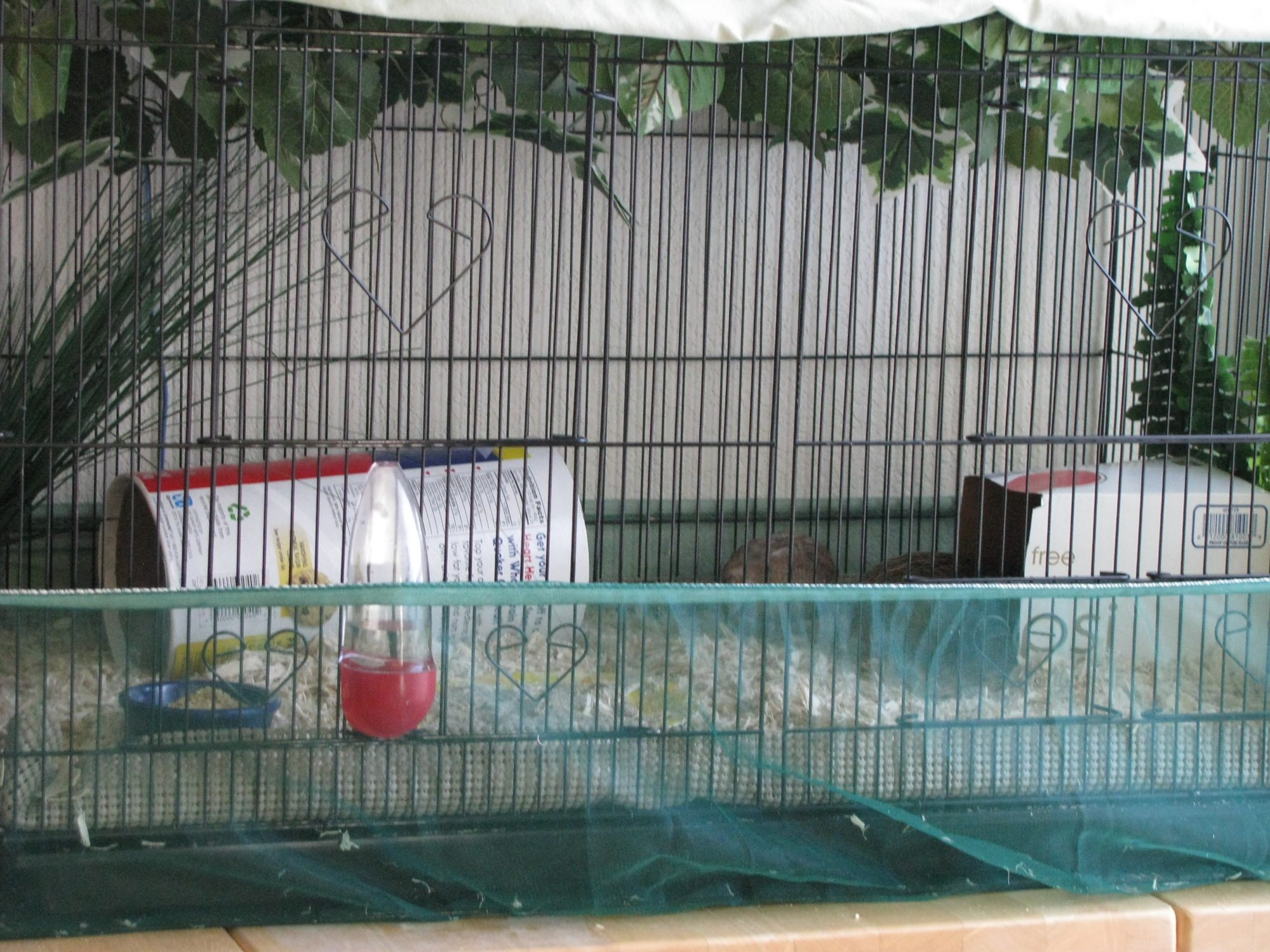 button quail cage height backyard chickens