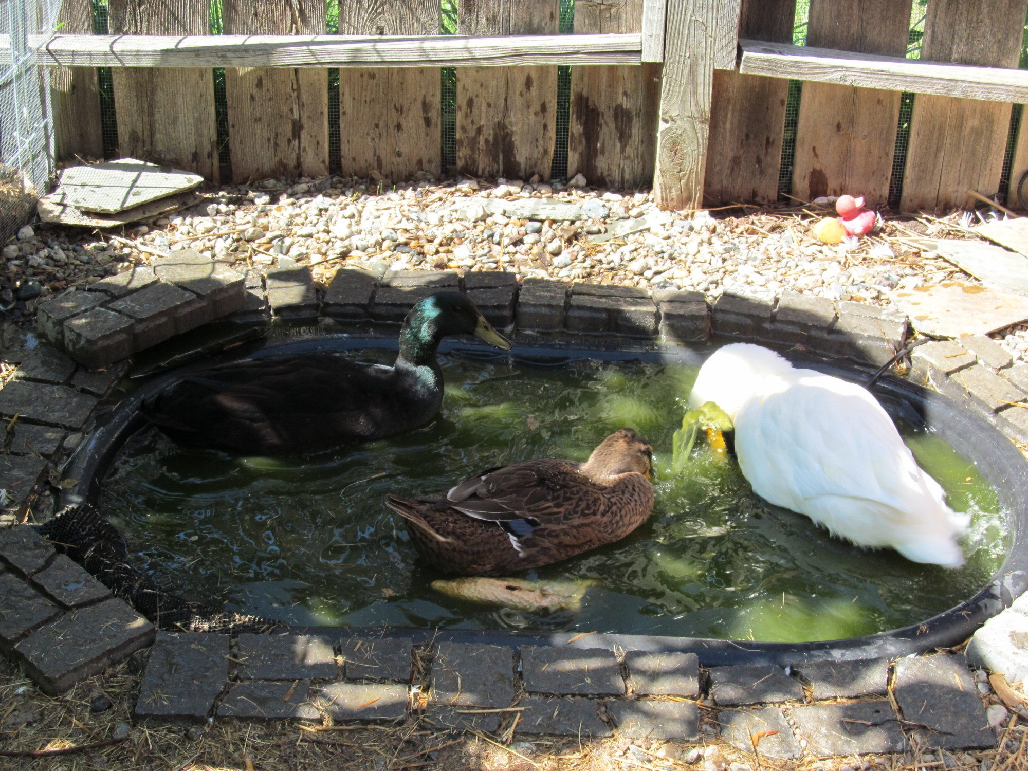 duck pond pool pictures page 16 backyard chickens