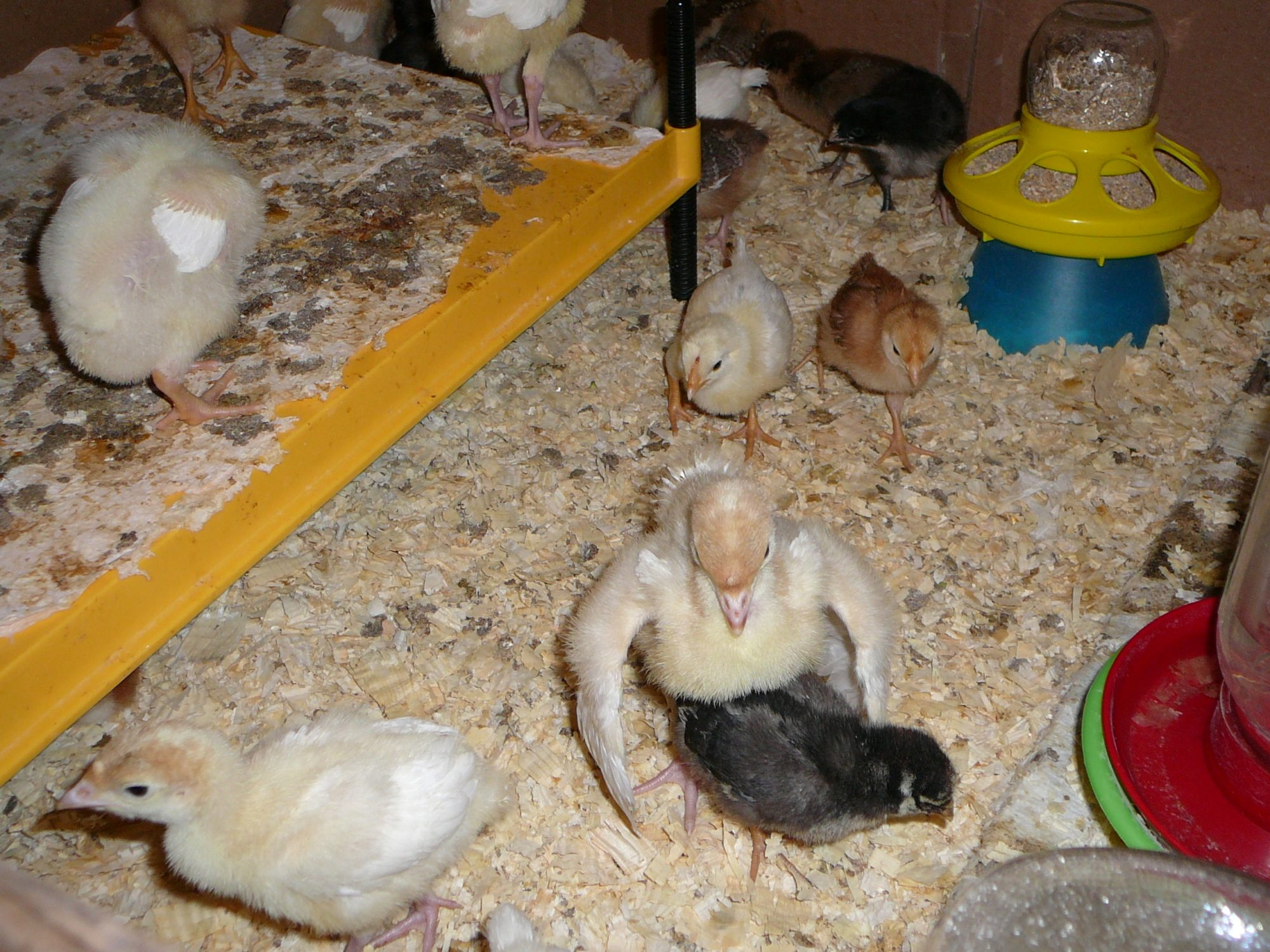 it u0027s a boy pic backyard chickens