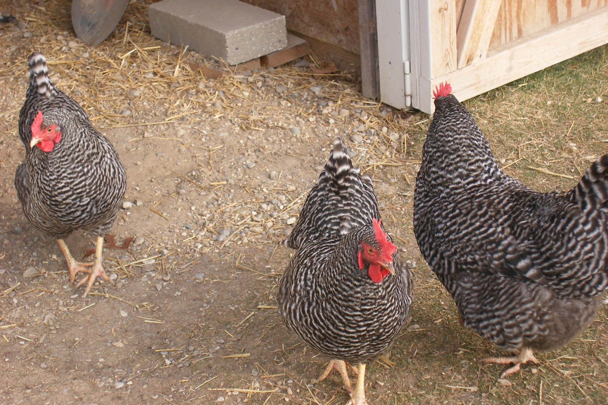 Backyard Chickens Breeds : What is the Breed Standard of the Barred Plymouth Rock?