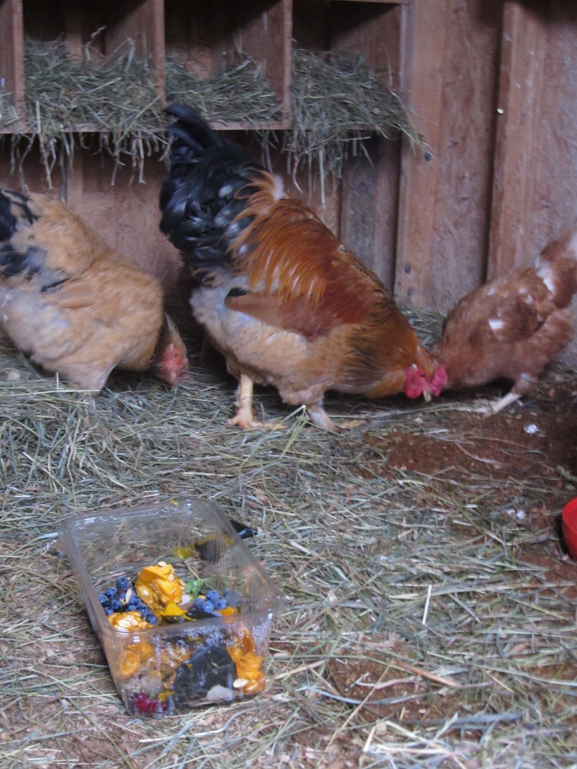 Chicken Pecking Order: How, where, when and why - BackYard ...