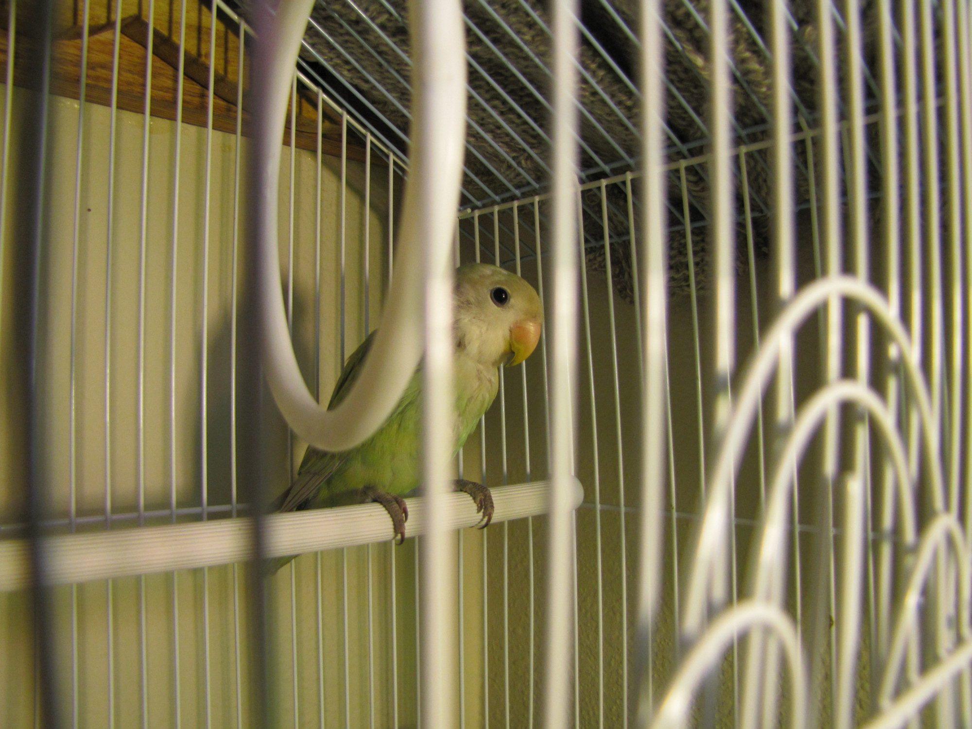 Lovebird I got to babysit.