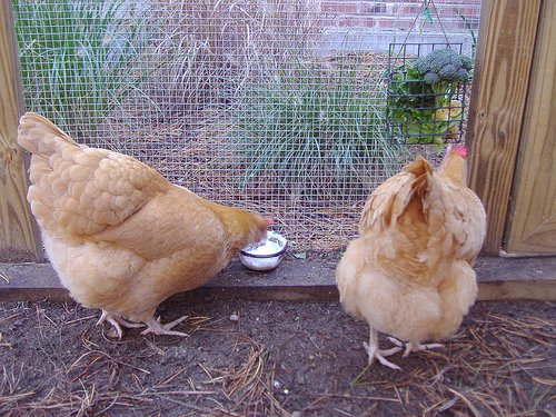 chicken treat chart the best treats for backyard chickens backyard