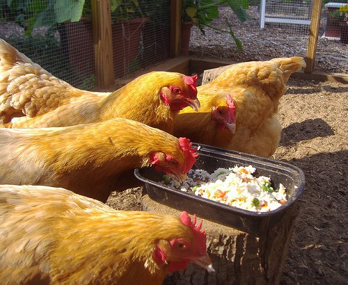 Chicken Treat Chartthe Best Treats For Backyard Chickens Backyard