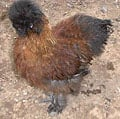 bantams_silkies01_Judy_sm.jpg