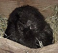 bantams_silkies04_120.jpg