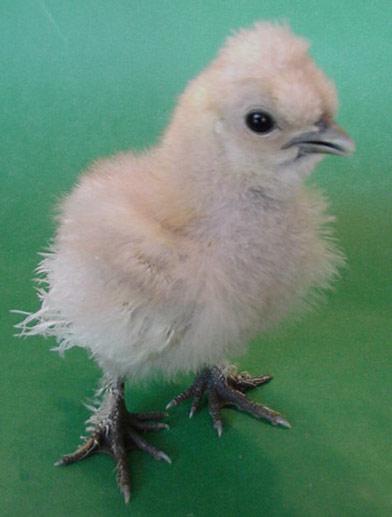chicken breeds silkies. Breeds » Bantams » Silkies »