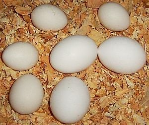 new-chicks-eggs.jpg