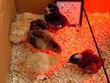 chicks_sm.jpg