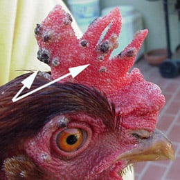 Avian Pox in Chickens - Warning, Graphic Pictures (under