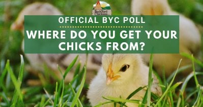 Where Do You Get Your Chicks From?